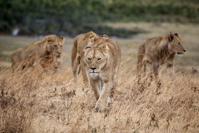 Troupeau de lions